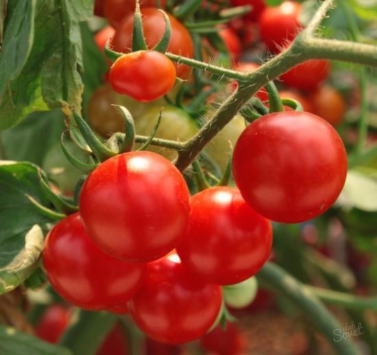Низкорпосные томаты