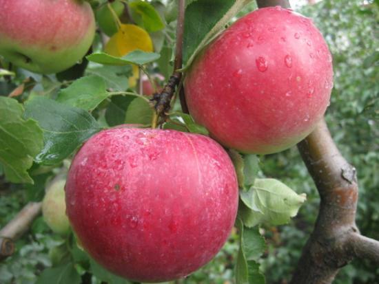 Дерево яблоня
