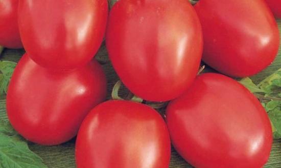 Устойчивый ранний томат