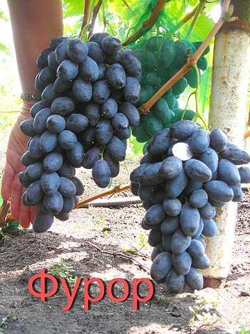 Виноград Фурор