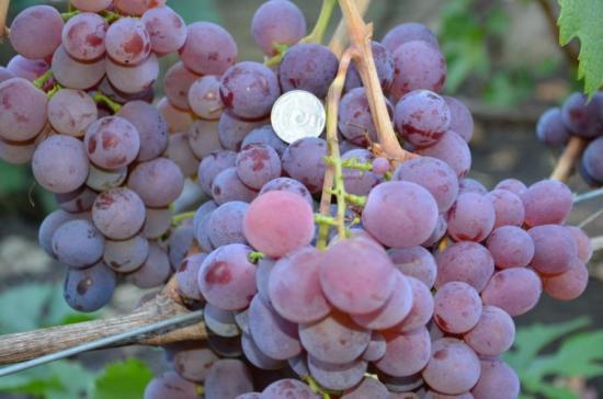 Виноград зрелый