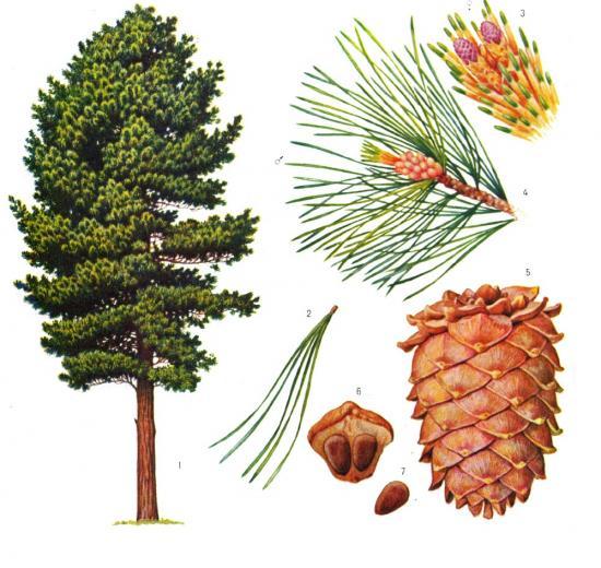 Дерево и шишки сосны