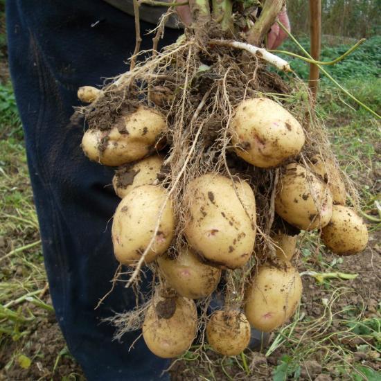 Новые способы выращивания картошки 22
