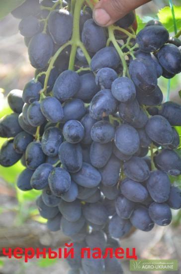 Виноград аленушка
