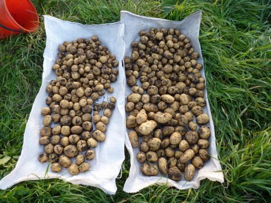 Картофель после сидератов