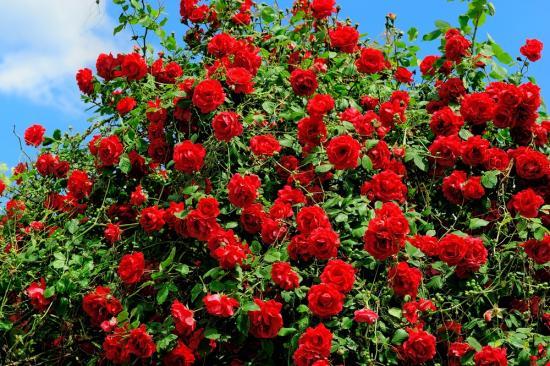 Выращивание роз из семян