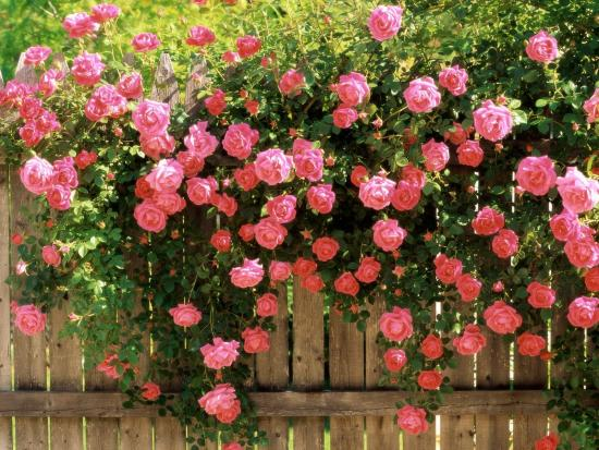 Роза из семян