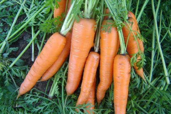 Морковь, плоды