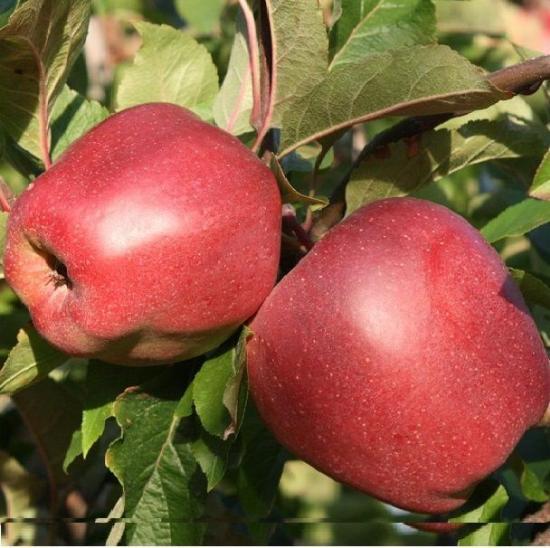 Яблоки сорта Глостер