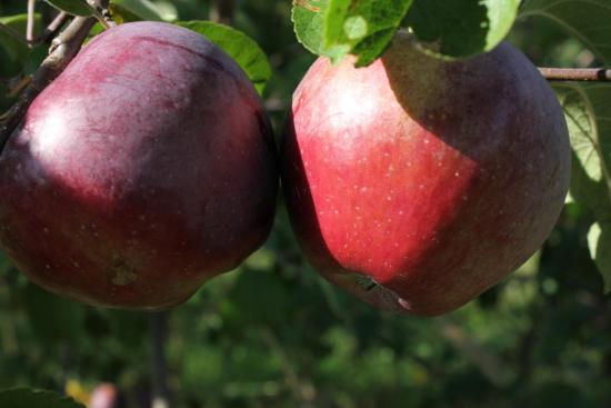 Глостер плоды