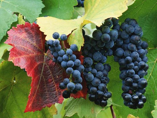 Виноград черенками из косточки