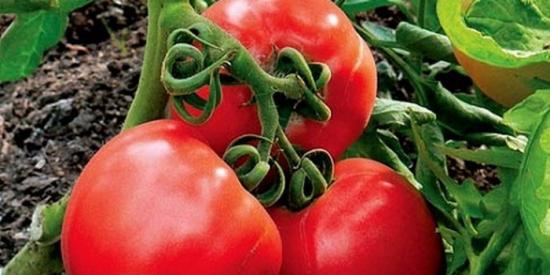 Ранние томаты, сорта