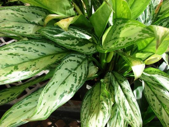 Теневыносливое растение для комнаты