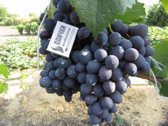 Виноград Черный восторг
