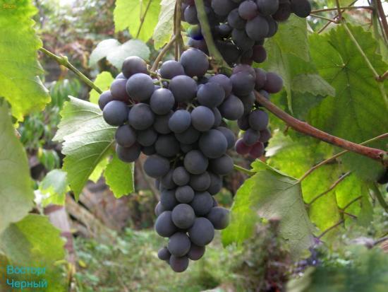 Виноград Восторг черный