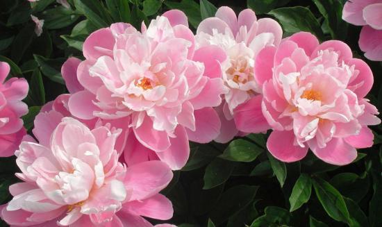 Пион цветет