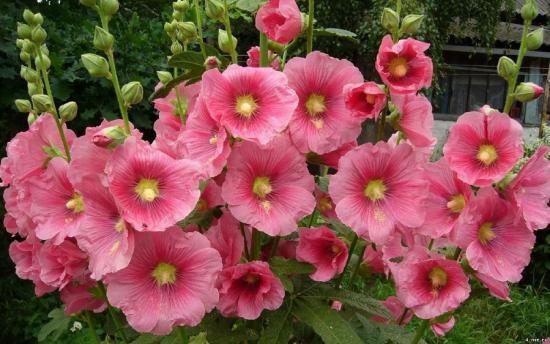 Цветы мальвы в саду