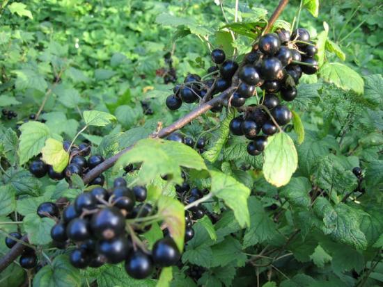 Выращивание чёрной смородины на приусадебном участке 44