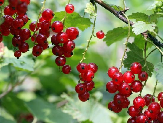 Красная смородина, ягоды