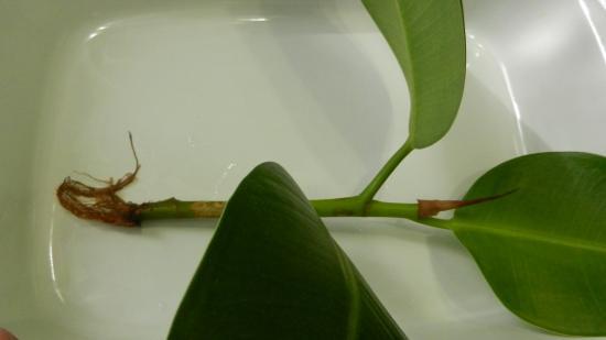 Фикус каучуконосный, размножение