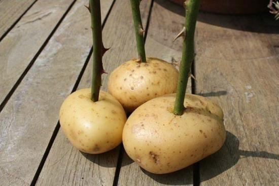 Черенкование роз в картошке
