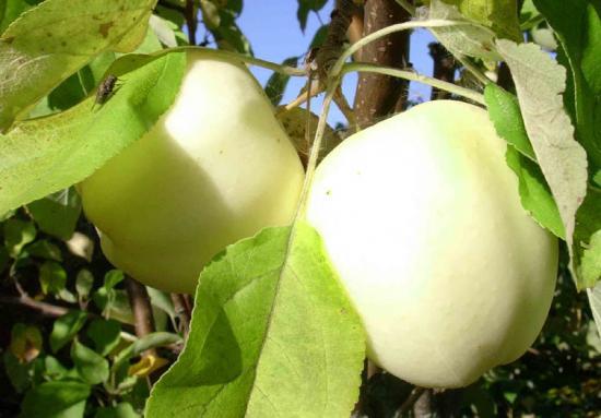 Яблоня после прививки