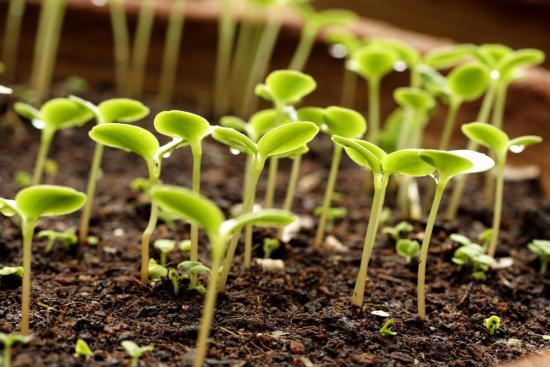 Удобрение - голубиный помет