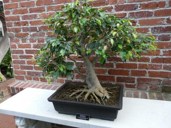 Выращивание дерева бонсай