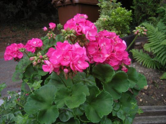 Цветок пеларгонии