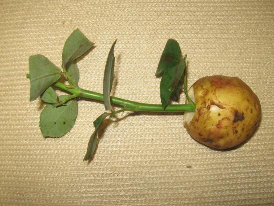 Черенки в картошке
