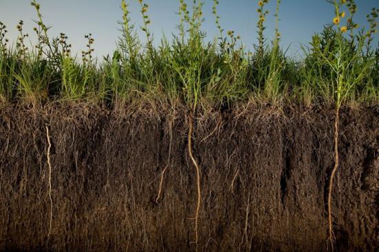 Рожь на огороде польза и вред