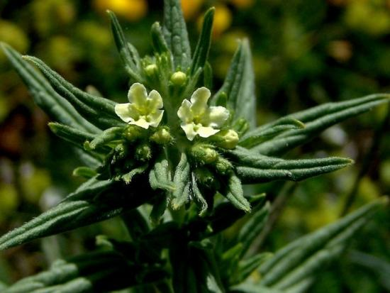 Воробейник лекарственный цветущий