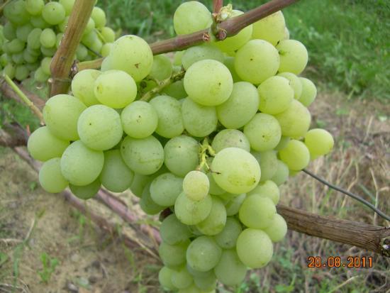 Виноград восторг овальный