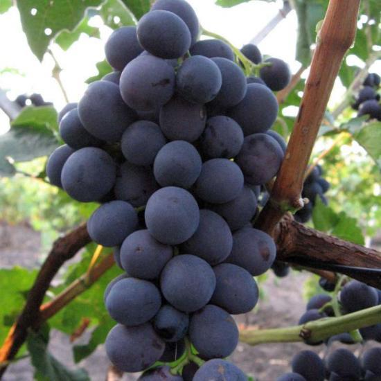 Гроздь винограда северный сладкий