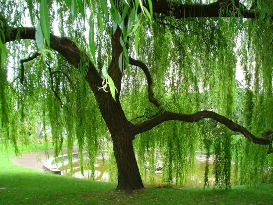 Дерево ива
