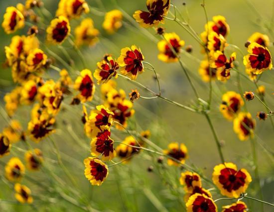 Цветок Космидиум