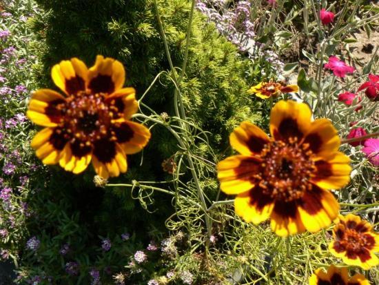 Цветы Космидиум в саду