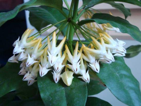 Цветущее растение Хойя