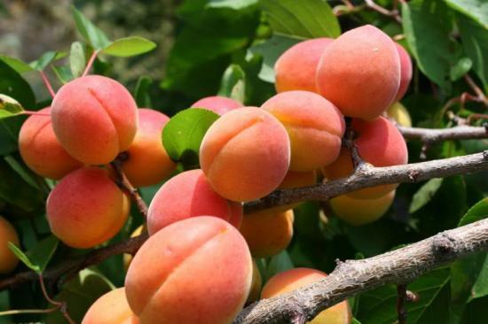 Абрикос Водолей плоды
