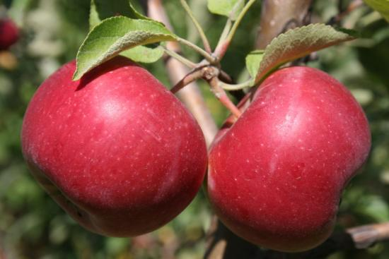 Яблоня энтерпрайз