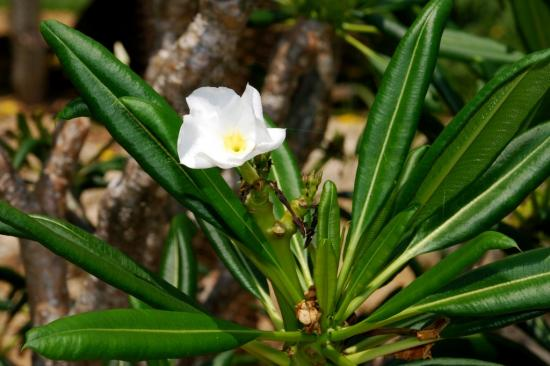 Пахиподиум ламера цветущий