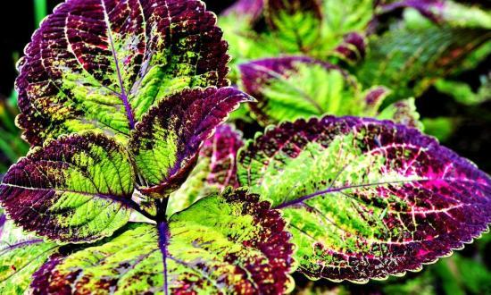 Колеус форсколии, растение
