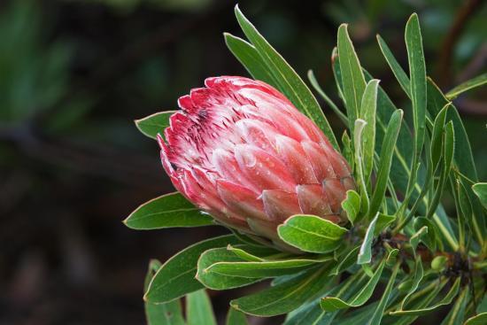 Протея артишоковая, растение