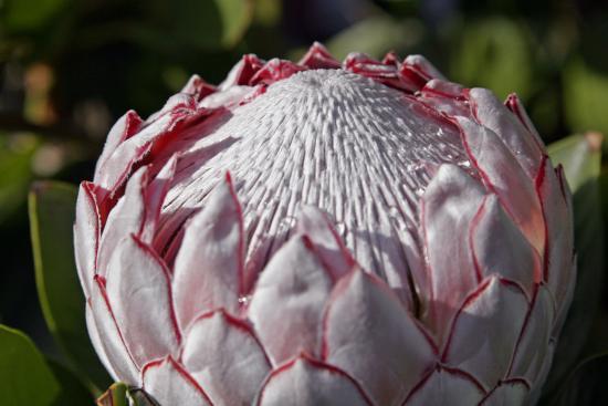 Растение протея артишоковая