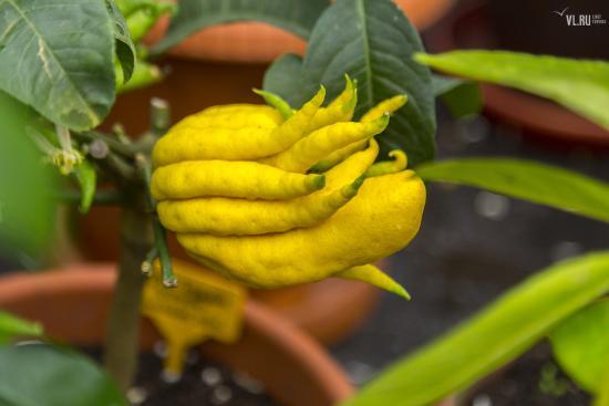 Пальчатый цитрон, плод