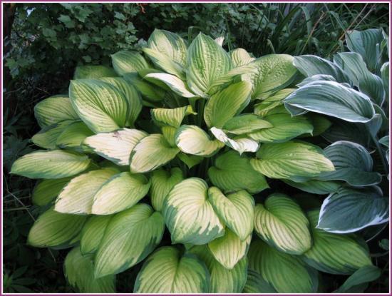 Растение хоста аква мунбим