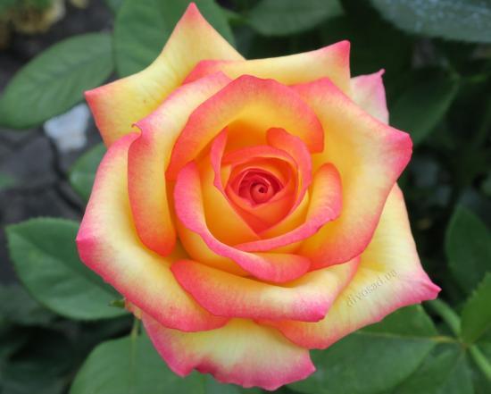 Роза Поль Гоген