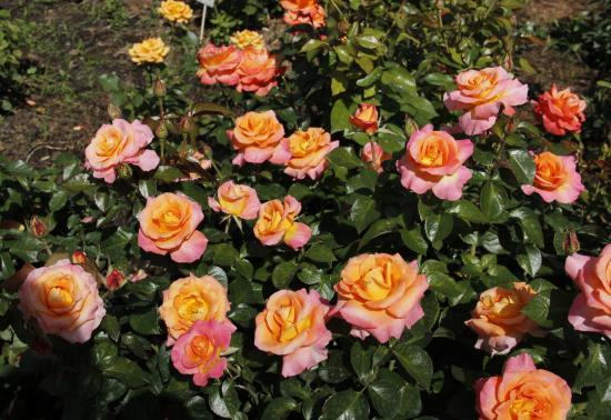 Поль Гоген роза