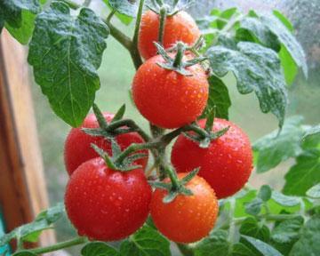 Правильный уход за рассадой томатов