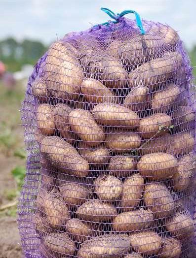 Семенной картофель колетте
